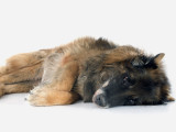 Maladie, vieillesse : quand peut-on euthanasier son chien ?