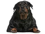 Surpoids et obésité chez le chien