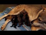 Naissance de 5 chiens-loups tchécoslovaques