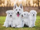 Insémination artificielle : la reproduction médicalement assistée chez le chien