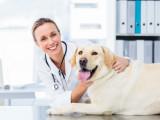 La stérilisation chez la chienne