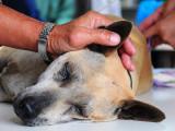 La castration : quand et pourquoi faut-il castrer son chien ?