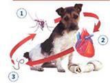 Santé canine :  LA DIROFILARIOSE