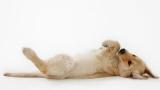 Syndrome de Dilatation Torsion d'Estomac chez le chien