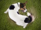 Les TOC chez le chien pourraient être d'origine génétique
