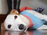 Les problèmes de santé et maladies héréditaires chez le chien