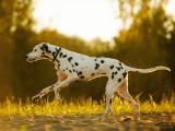 Les maladies de l'appareil locomoteur chez le chien