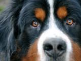 Les maladies de l'appareil endocrinien chez le chien