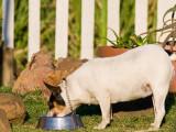 Les maladies de l'appareil digestif du chien