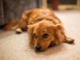 Les tremblements : mon chien tremble, faut-il s'inquiéter ?