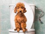 L'incontinence chez le chien