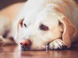 Le lymphome du chien : symptômes, causes et traitements