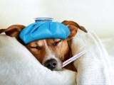 La fièvre chez le chien