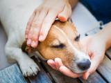L'ehrlichiose chez le chien: causes, symptômes, traitement...