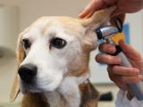 Les maladies d'oreille chez le chien