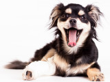 La luxation de la rotule chez le chien