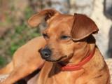 La maladie de Carré chez le chien