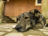 La piroplasmose chez le chien : symptômes, traitement et prévention
