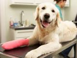 La rupture du ligament croisé (entorse grave) chez le chien