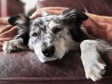 Symptômes du chien : reconnaître les maladies des chiens