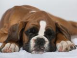 La Parvovirose Canine : symptômes, prévention et traitement