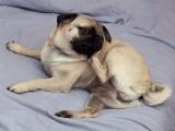 L'atopie chez le chien : causes et traitements