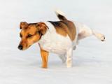 La cystite chez le chien : symptômes, causes et traitement