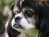 L'Atrophie Progressive de la Rétine (APR) chez le chien