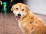 Alopécie : les maladies pouvant entraîner la perte de poils chez le chien