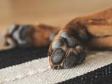 Les dermatoses des pieds chez le chien