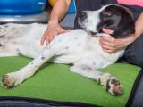 Ostéopathie pour chien Dysplasique ?