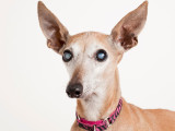 La cataracte du chien : Symptômes et traitements