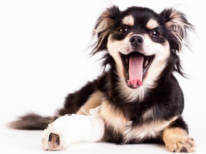La luxation de la rotule chez le chien : symptômes et traitement