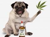 L'huile de cannabidiol (ou CBD) pour les chiens