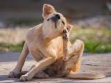 La dermatite allergisante aux piqûres de puces