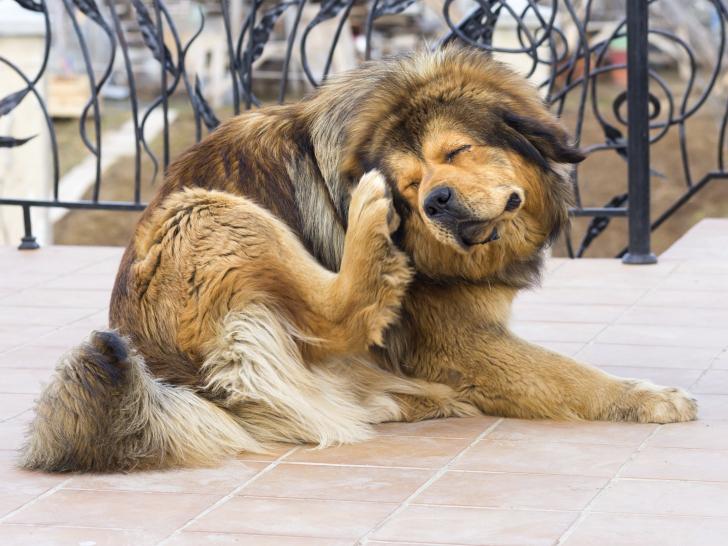 Les puces risques pour le chien et traitements - Como quitar pulgas en casa ...