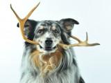 Le bois de cerf à mâcher pour les chiens