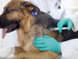 Vacciner son chien : la vaccination, meilleure prévention face aux maladies