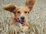 En balade avec votre chien : le danger des épillets