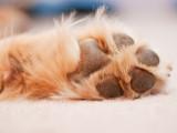 Les coussinets du chien : blessures et soins