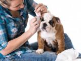 L'entretien des oreilles du chien