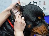 Comment nettoyer les oreilles de son chien
