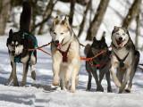 La Grande Odyssée Savoie Mont Blanc 2017: des chiens d'exception prennent le départ