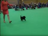 Affenpinscher lors d'une exposition canine