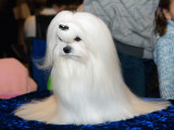 Exposition canine : présenter son chien à un concours de beauté