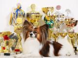 Participer à un concours de beauté pour chien