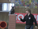 Compétition d'agilité avec des Scottish Terrier