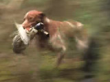 Marvejols (48) -  Les chiens de chasse au field trial