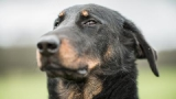 Le beauceron, figure emblématique des chiens
