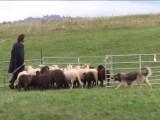 SUISSE - Des moutons sous la conduite des meilleurs chiens de troupeau suisses